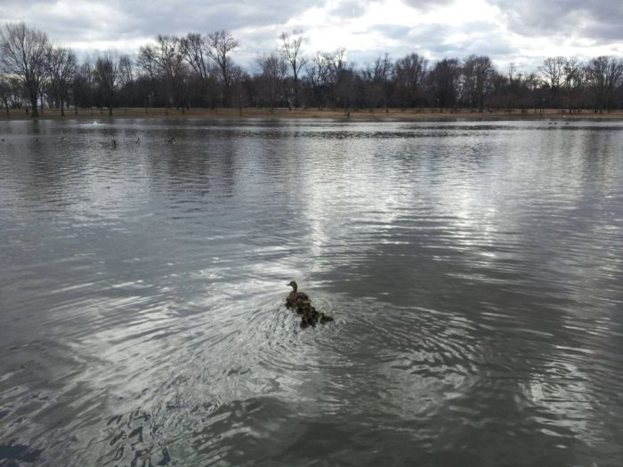 Duckling Escort