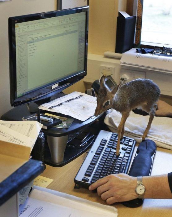 Tiny Dik-dik Antelope
