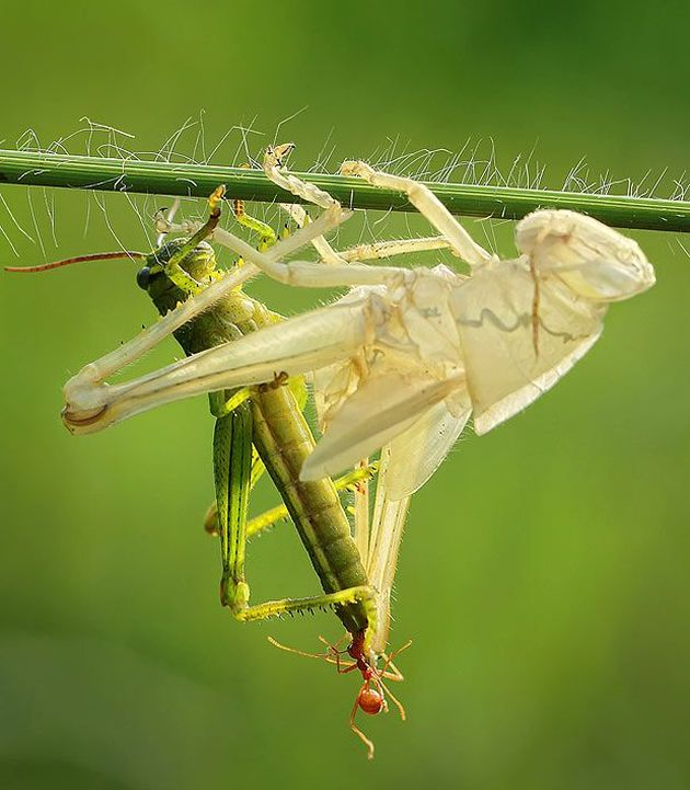 This Is How Grasshopper Moults