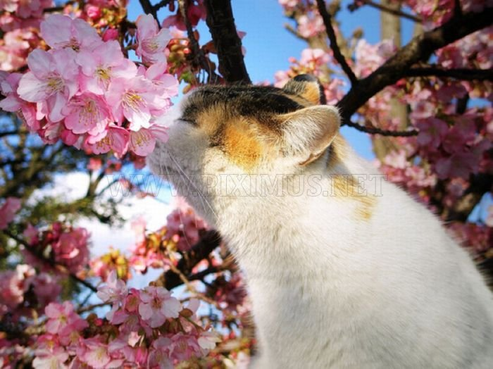 Cherry Blossom Tree Cats