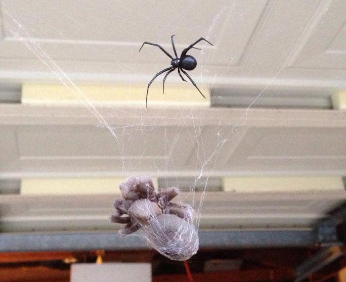 Tarantula vs Black Widow