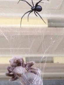 Tarantula vs Black Widow