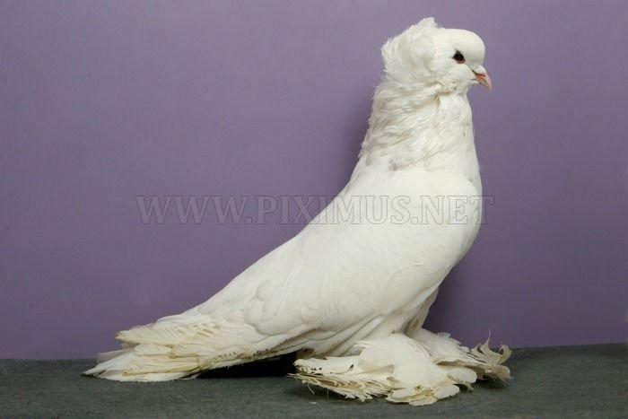 Cool Pigeons