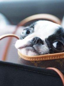 Cute Boston Terriers