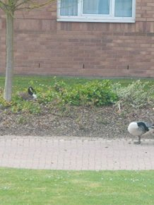 Angry Geese