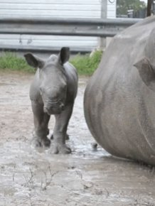 Baby Rhino and Its Mom