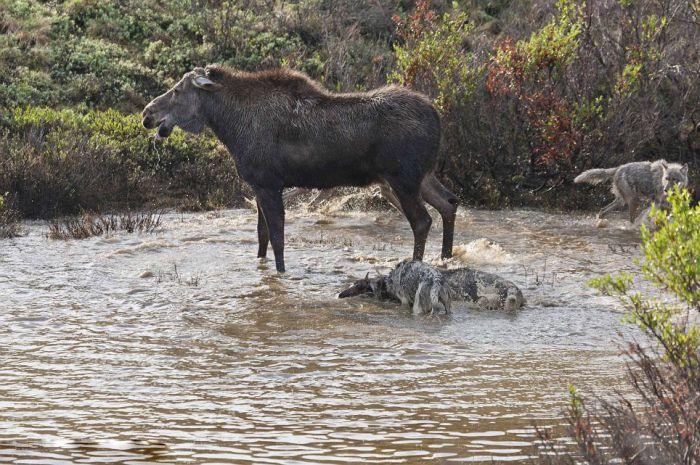 Mother Moose Battles to Save Her Newborn