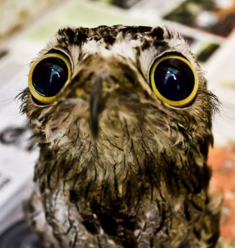 Potoo Bird Photos