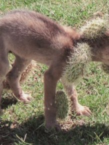 Coyote Rescued after Being Covered with Cholla Cactus