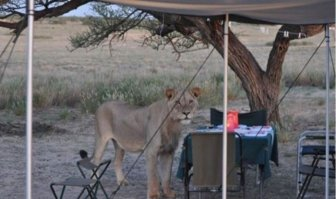 When Lions Come for a Visit