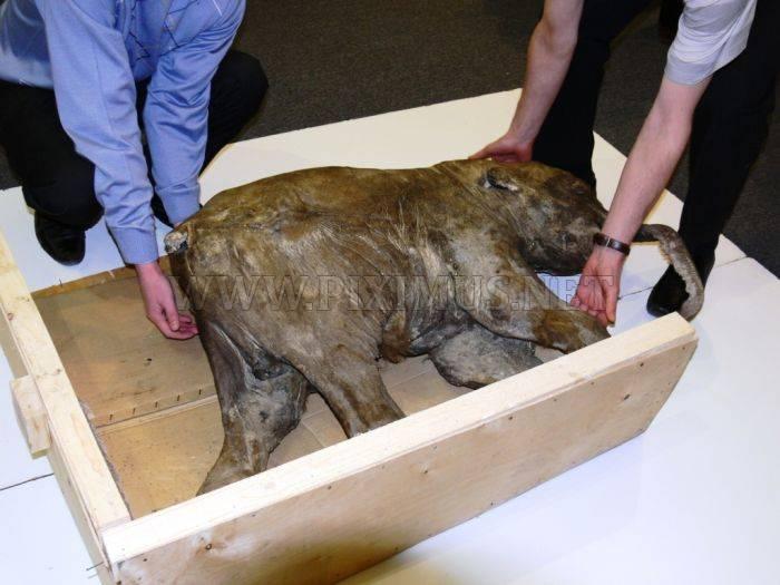 Frozen Baby Mammoth Found in Russia
