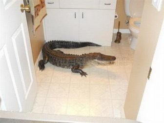 Alligator in the House
