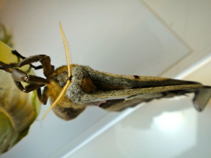 Transformation of Antheraea Polyphemus