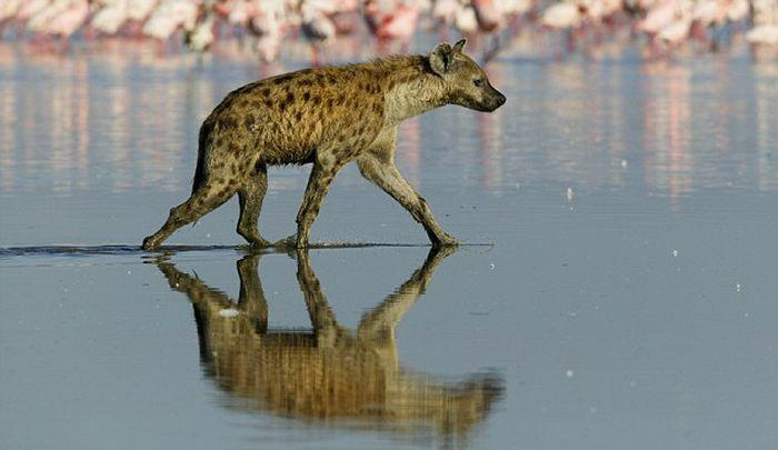 Hyena Walks on Water and Eats Flamingo