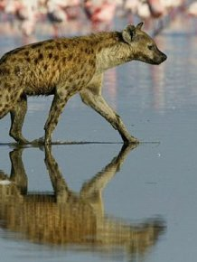Hyena Walks on Water and Eats Flamingo