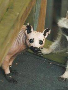 Bald Racoon