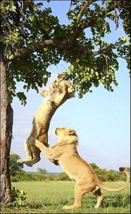 Two Lions Playing