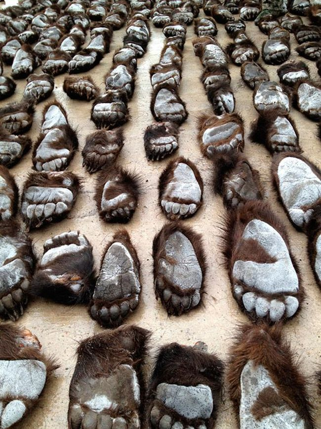 213 Bear Paws from Russia