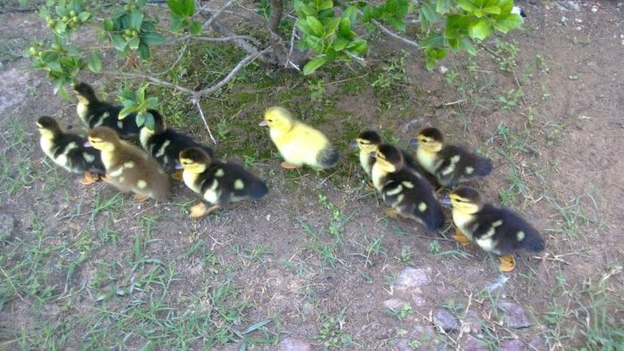 Ducklings on the March