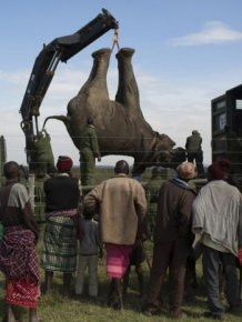 Kenya Wildlife Service Relocates Elephants