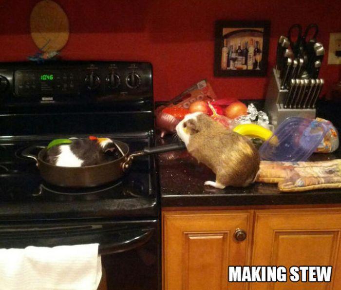Stuff Guinea Pig Does