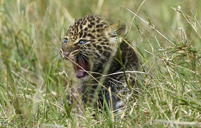 Mother Leopard Saves Her Baby