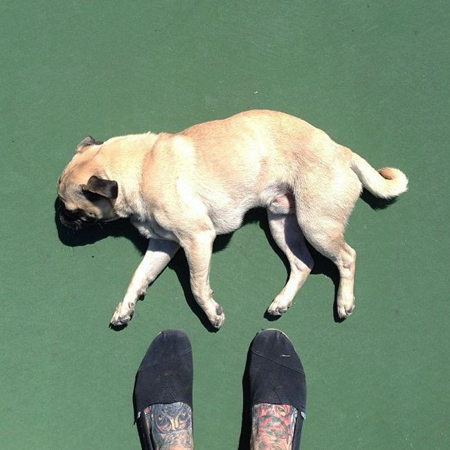 Norm the Pug