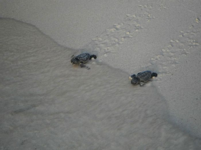 Bringing Baby Turtles to Sea