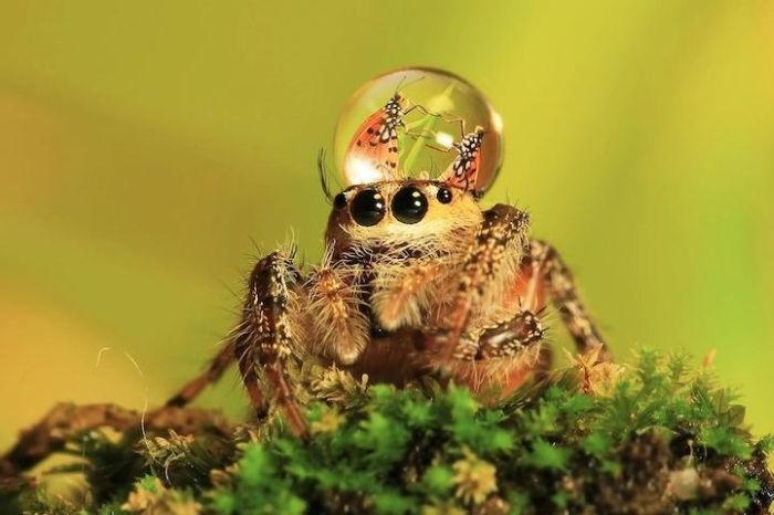 Spiders Wearing Water Droplets as Hats
