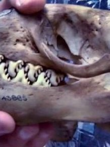 Riddle of the Day. What Animal Does This Skull Belong to?