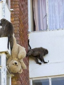 Baboons Attack