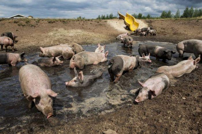 Slide for Pigs