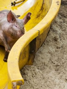 Slide for Pigs