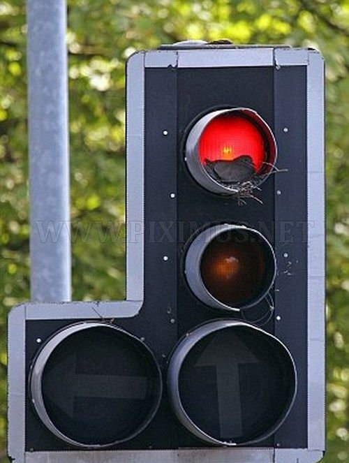 Traffic Light Dove