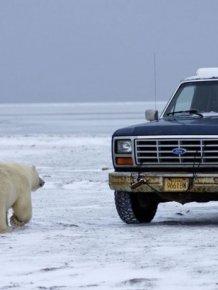 Polar Bear Inspects a Car