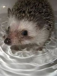 Hedgehog Takes Bath