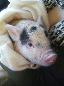 Fake Mini Pig