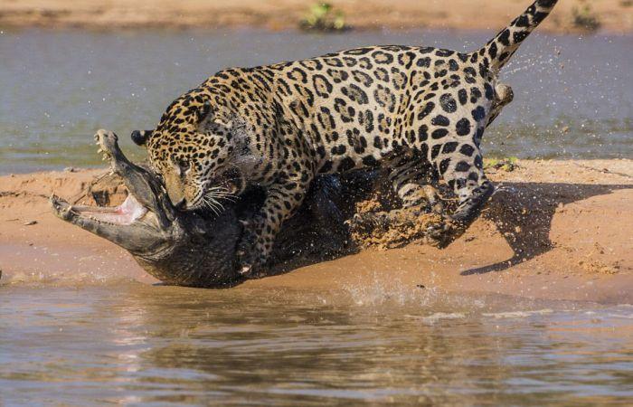 Jaguar Hunts for a Crocodile