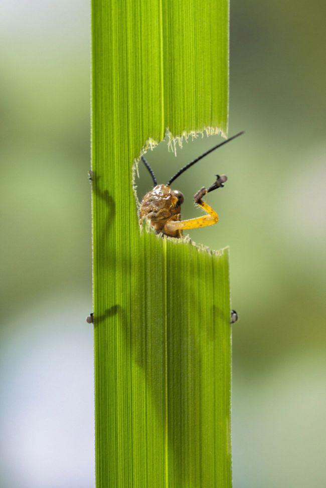 Eating Grasshopper