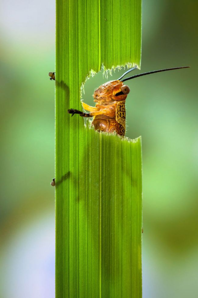 What Do Grasshoppers Eat | Grasshoppers Diet
