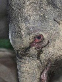 Baby Elephant Cried for Five Hours