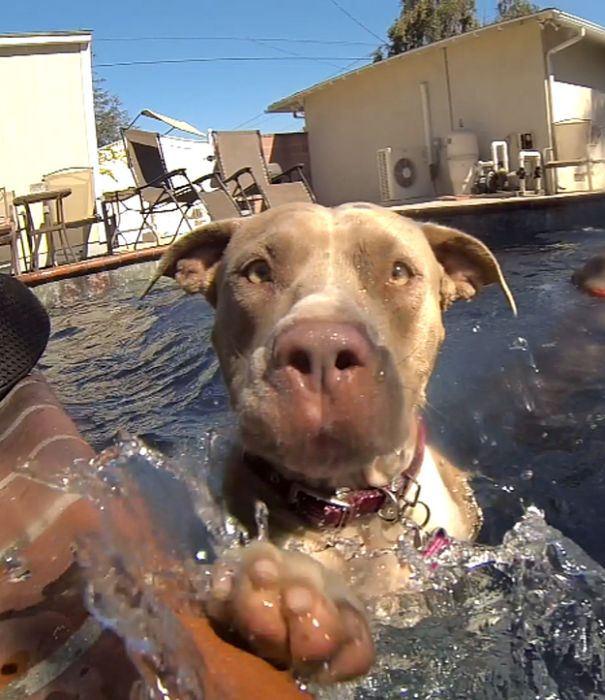 Rescued Pit Bull