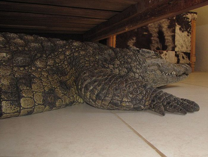 Crocodile Under the Bed