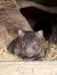 World's Oldest Wombat