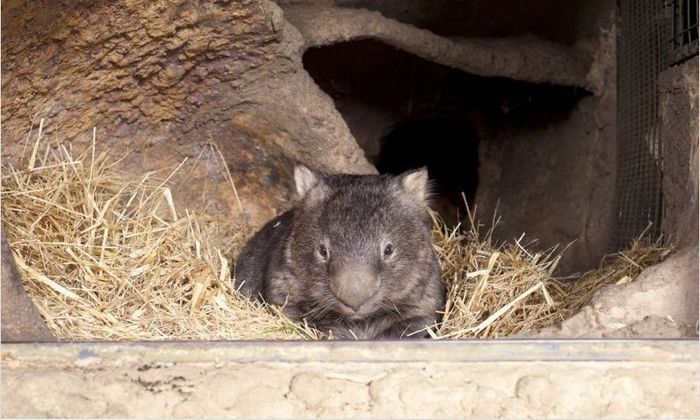 World's Oldest Wombat