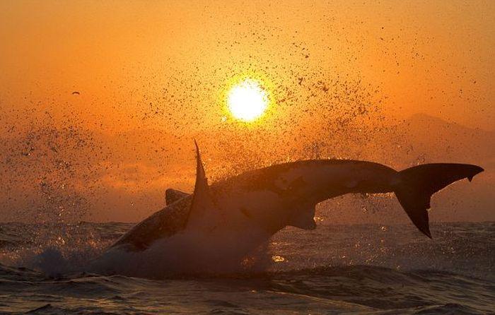Great White Shark Silhouette