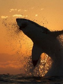Great White Shark Silhouette