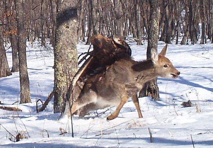 Golden Eagle Flies Off with a Deer