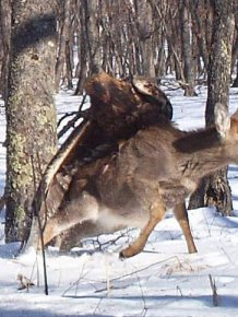Golden Eagle Flies Off with a Deer
