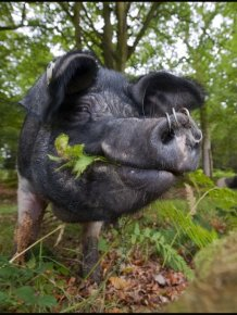 Pigs of the New Forest